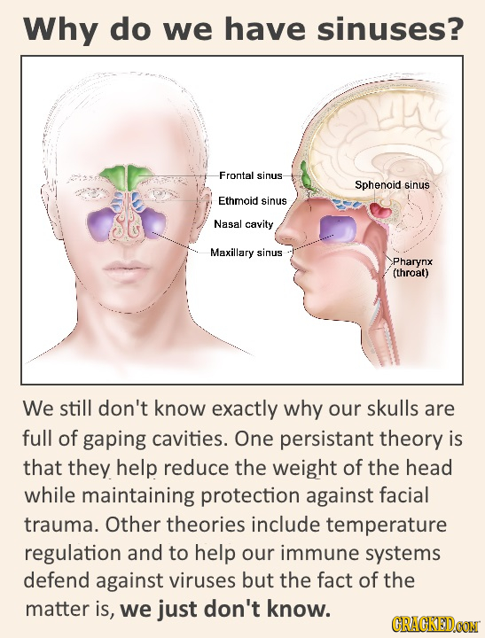 Why do we have sinuses? Frontal sinus- Sphenoid sinus Ethmoid sinus Nasal cavity Maxillary sinus Pharynx (throat) We still don't know exactly why our