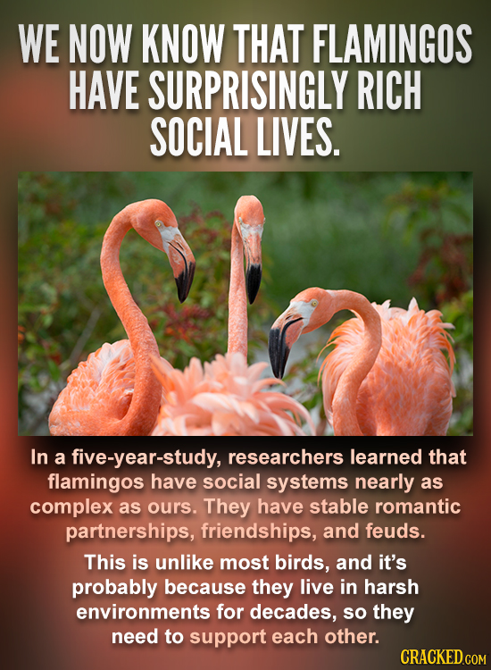 WE NOW KNOW THAT FLAMINGOS HAVE SURPRISINGLY RICH SOCIAL LIVES. In a five-year-study, researchers learned that flamingos have social systems nearly as