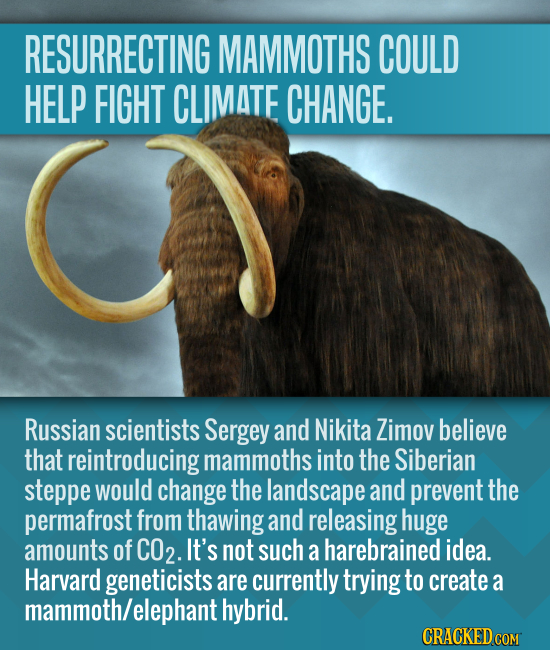 RESURRECTING MAMMOTHS COULD HELP FIGHT CLIMATE CHANGE. Russian scientists Sergey and Nikita Zimov believe that reintroducing mammoths into the Siberia