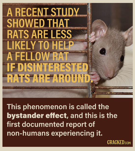 A RECENT STUDY SHOWED THAT RATS ARE LESS LIKELY TO HELP A FELLOW RAT IF DISINTERESTED RATS ARE AROUND. This phenomenon is called the bystander effect,
