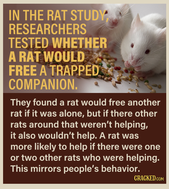IN THE RAT STUDY, RESEARCHERS TESTED WHETHER A RAT WOULD FREE A TRAPPED COMPANION. They found a rat would free another rat if it was alone, but if the