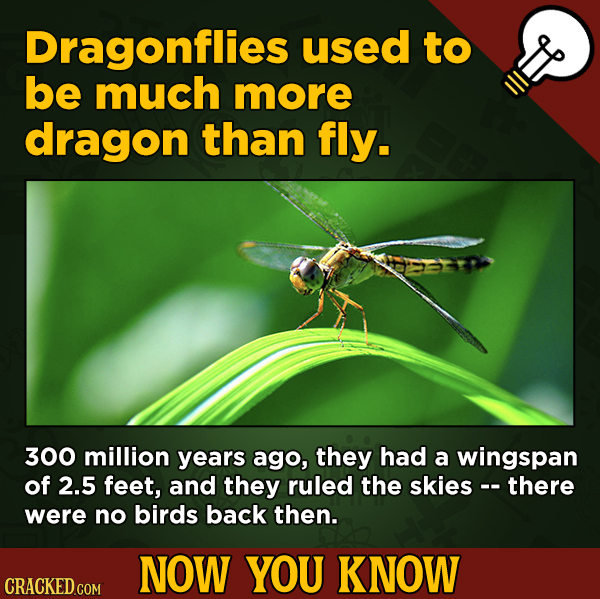 A Fresh Boatload Of Movie And General Trivia - Dragonflies used to be much more dragon than fly. 300 million years ago, they had a