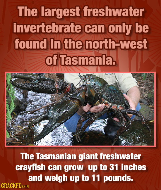 The largest freshwater invertebrate can only be found in the north-west of Tasmania. The Tasmanian giant freshwater crayfish can grow up to 31 inches