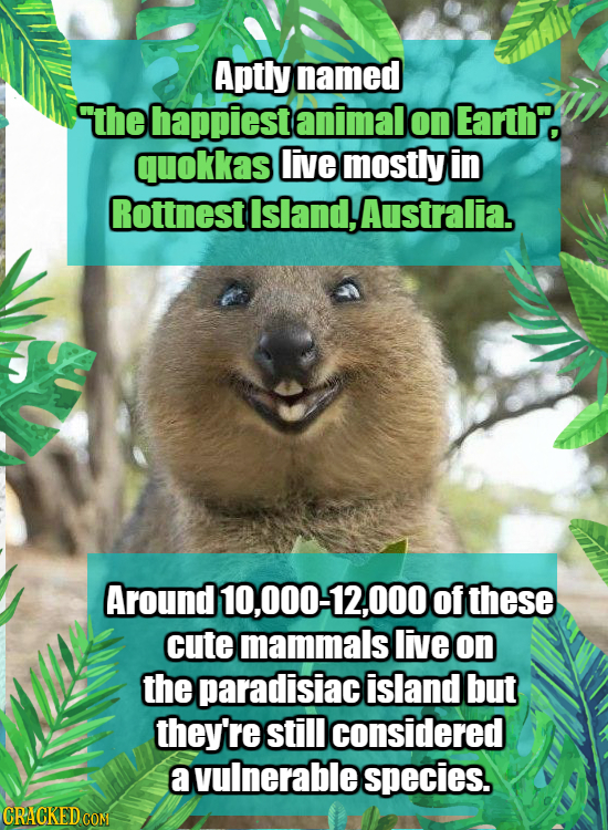 Aptly named the happiest animal on Earth. quokkas live mostly in Rottnestisland,Australia. Around 10,000-12,000 of these cute mammals live on the para