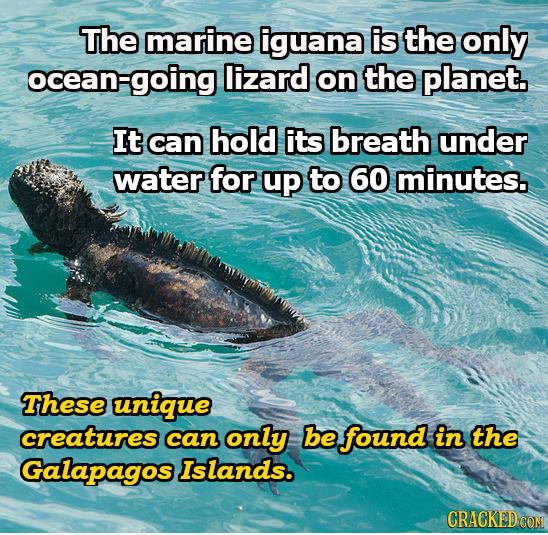 The marine iguana is the only ocean ocean-going lizard on the planet. It can hold its breath under water for up to 60 minutes. These unique creatures