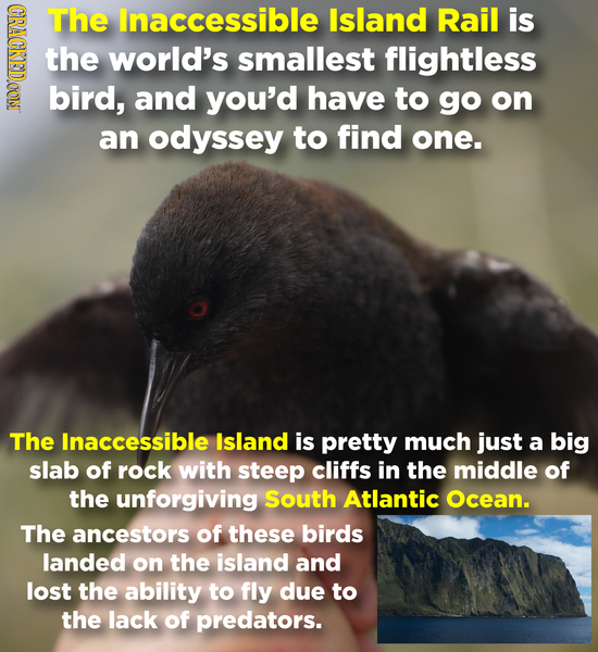 CRAGR The lnaccessible Island Rail is the world's smallest flightless bird, and you'd have to go on an odyssey to find one. The Inaccessible Island is