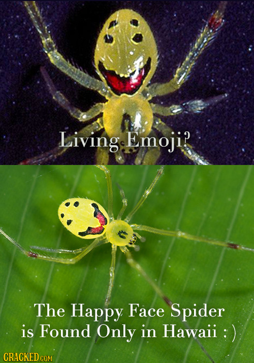 Living Emoji? The Happy Face Spider is Found Only in Hawaii : CRACKED COM
