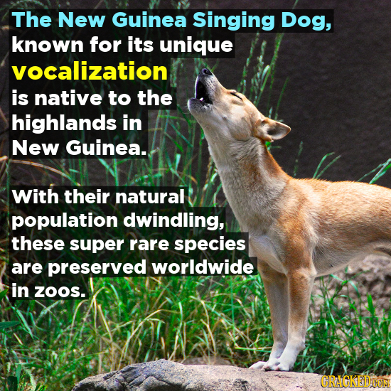 The New Guinea Singing Dog, known for its unique vocalization is native to the highlands in New Guinea.. With their natural population dwindling, thes