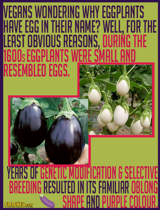VEGANS WONDERING WHY EGGPLANTS HAVE EGG IN THEIR NAME? WELL, FOR THE LEAST OBVIOUS REASONS, DURING THE 1600s EGGPLANTS WERE SMALL AND RESEMBLED EGGS.