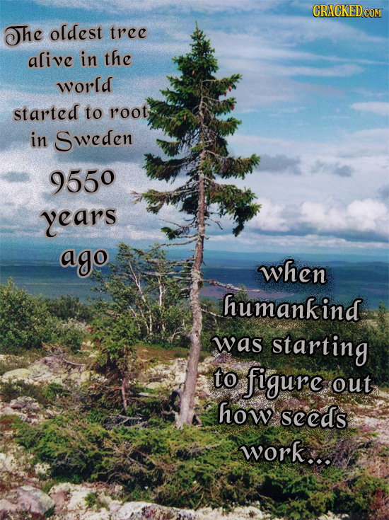 CRACKEDCO The oldest tree alive in the world started to root in Sweden 9550 years ago when humankind was starting to figure out how seeds work...