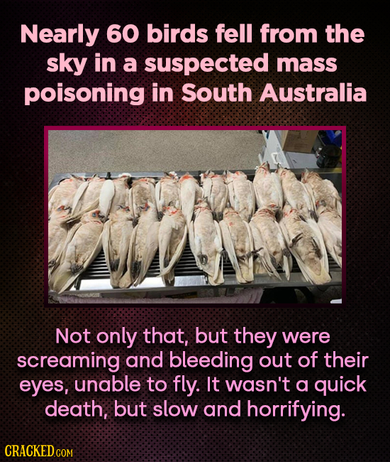 Nearly 60 birds fell from the sky in a suspected mass poisoning in South Australia Not only that, but they were screaming and bleeding out of their ey