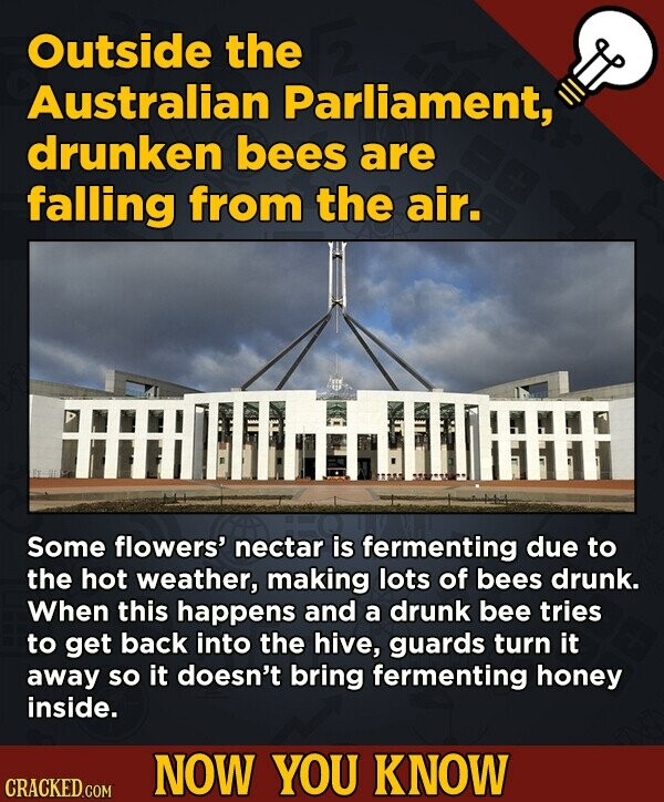 Outside the Australian Parliament, drunken bees are falling from the air. Some flowers' nectar is fermenting due to the hot weather, making lots of be
