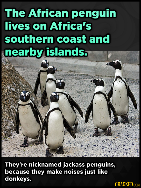 The African penguin lives on Africa's southern coast and nearby islands. They're nicknamed jackass penguins, because they make noises just like donkey