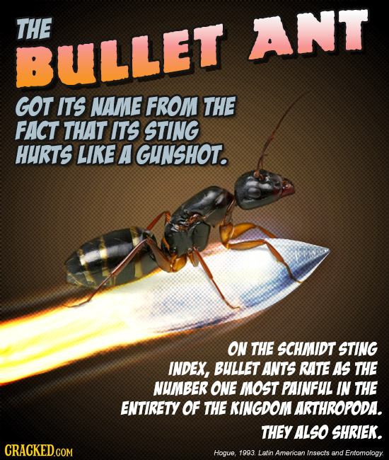THE ANT BULLET GOT ITS NAMME FROM THE FACT THAT ITS STING HURTS LIKE A IGHNSHOT. ON THE SCHMIDT STING INDEX, BULLET ANTS RATE As THE NUMBER ONE MOST P