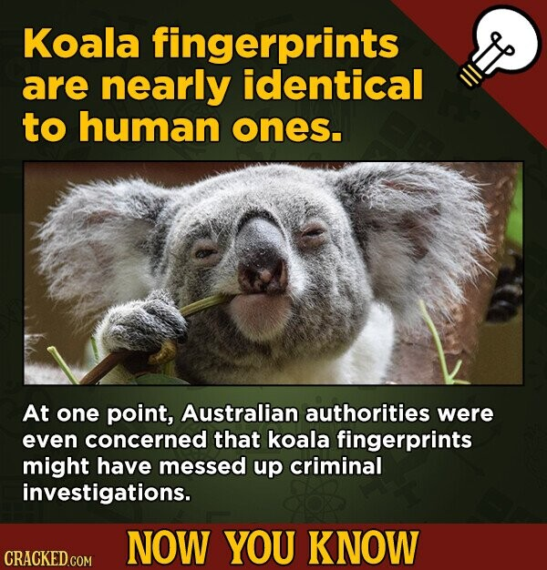 Koala fingerprints are nearly identical to human ones. At one point, Australian authorities were even concerned that koala fingerprints might have mes