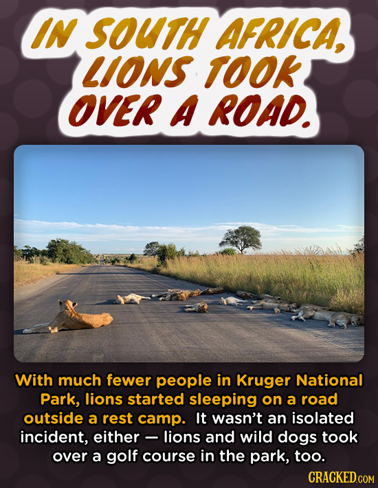 IN SOUTH AFRICA, LIONS TOOK OVER A ROAD. With much fewer people in Kruger National Park, lions started sleeping on a road outside a rest camp. It wasn
