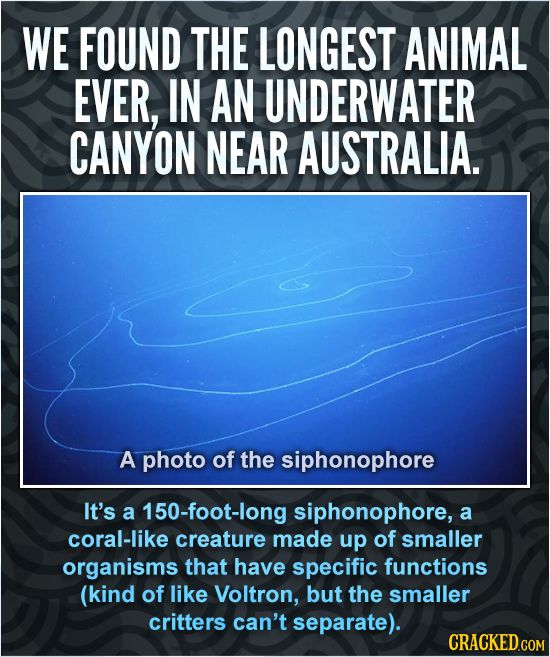 WE FOUND THE LONGEST ANIMAL EVER, IN AN UNDERWATER CANYON NEAR AUSTRALIA. A photo of the siphonophore It's a 150-foot-long siphonophore, a coral-like
