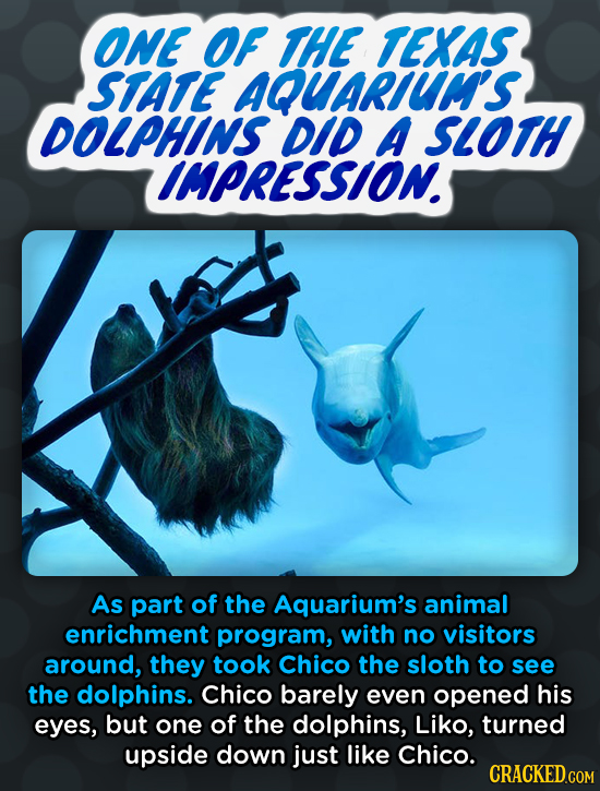 ONE OF THE TEKAS STATE AQUARLUuM'S DOLPHINS DID A SLOTH CIMPRESSION. As part of the Aquarium's animal enrichment program, with no visitors around, the