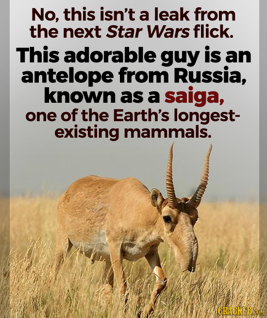 No, this isn't a leak from the next Star Wars flick. This adorable guy is an antelope from Russia, known as a saiga, one of the Earth's longest- exist