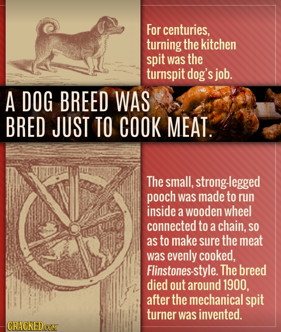 For centuries, turning the kitchen spit was the turnspit dog's job. A DOG BREED WAS BRED JUST TO COOK MEAT. The small, strong-legged pooch was made to