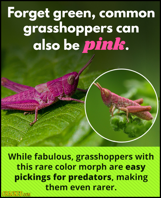 Forget green, common grasshoppers can also be pink. While fabulous, grasshoppers with this rare color morph are easy pickings for predators, making th