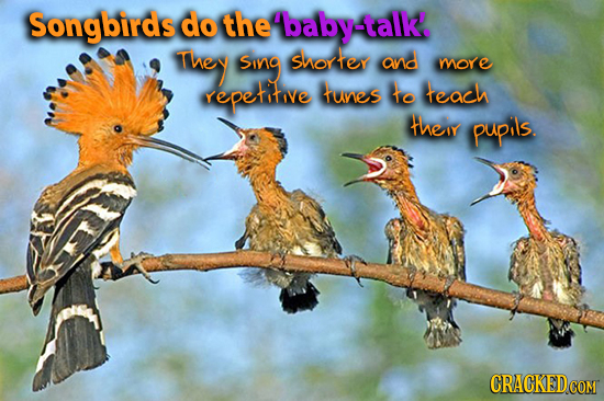 Songbirds do the baby-talk!. ThEY Sing Shorfey ana more repetotive funes to teach tTheIY pupils. CRACKEDcO