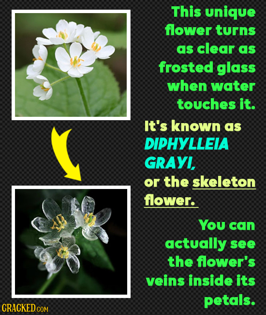 This unique flower turns as clear as frosted glass when water touches it. It's known as DIPHYLLEIA GRAYI, or the skeleton flower. You can actually see