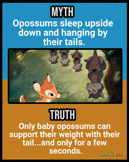 MYTH Opossums sleep upside down and hanging by their tails. TRUTH Only baby opossums can support their weight with their tail... and only for a few se