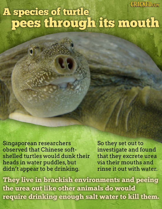 A species of turtle pees through its mouth Singaporean researchers So they set out to observed that Chinese soft- investigate and found shelled turtle