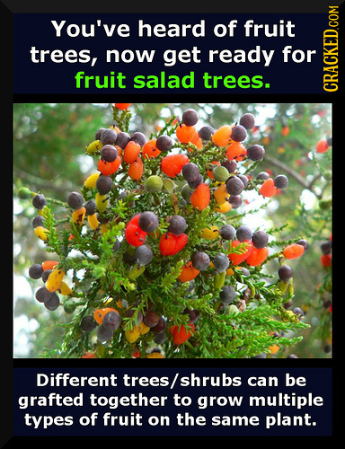 You've heard of fruit trees, now get ready for fruit salad trees. Different trees/ shrubs can be grafted together to grow multiple types of fruit on t