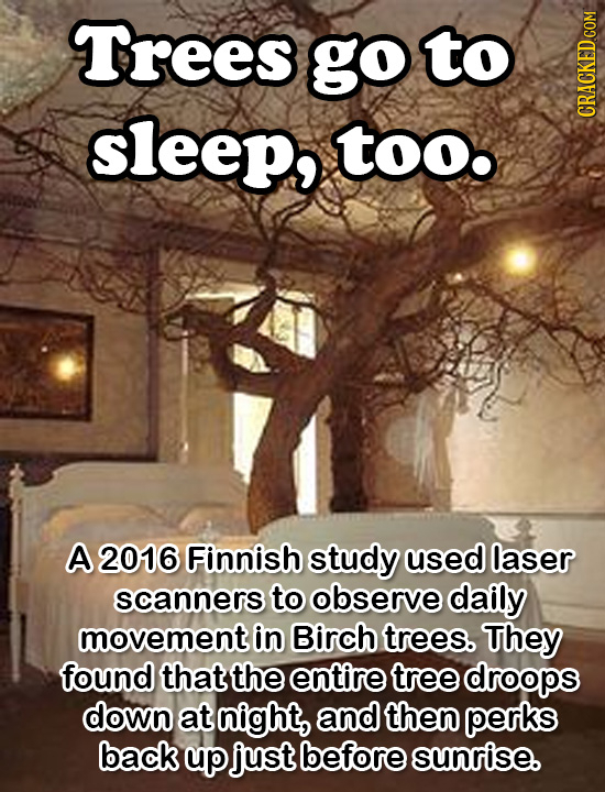 Trees go Tto sleep, Too A 2016 Finnish study used laser scanners to observe daily movement in Birch trees. They found that the entire tree droops down