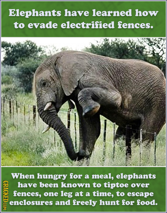 Elephants have learned how to evade electrified fences. When hungry for a meal, elephants CRACD have been known to tiptoe over fences, one leg at a ti