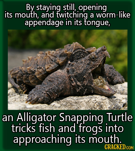 By staying still, opening its mouth, and twitching a worm-lik appendage in its tongue, an Alligator Snapping Turtle tricks fish and frogs into approac