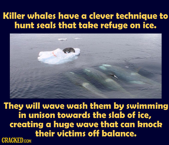 Killer whales have a clever technique to hunt seals that take refuge on ice. They will wave wash them by swimming in unison towards the slab of ice, c