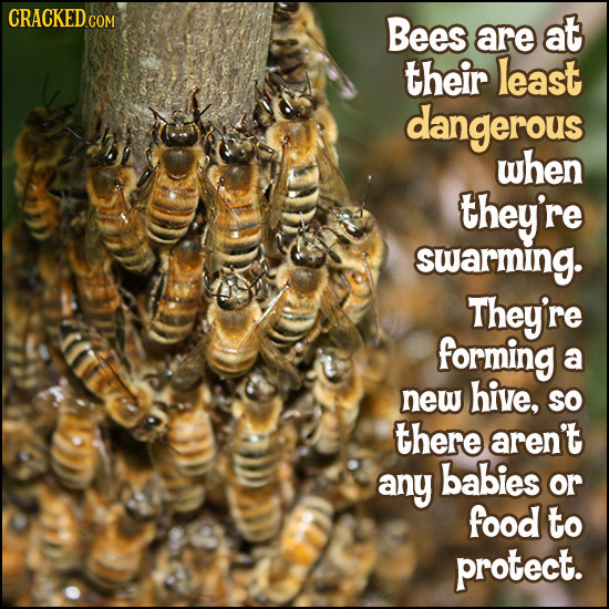 CRACKEDO COM Bees are at their least dangerous when they're swarming. They're forming a new hive, SO there aren't any babies or food to protect.