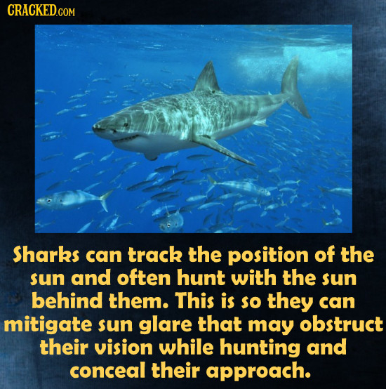 Sharks can track the position of the sun and often hunt with the sun behind them. This is so they can mitigate sun glare that may obstruct their visio