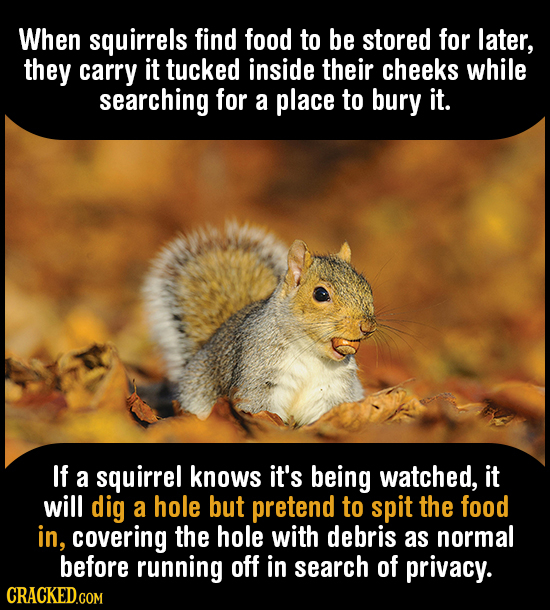When squirrels find food to be stored for later, they carry it tucked inside their cheeks while searching for a place to bury it. If a squirrel knows