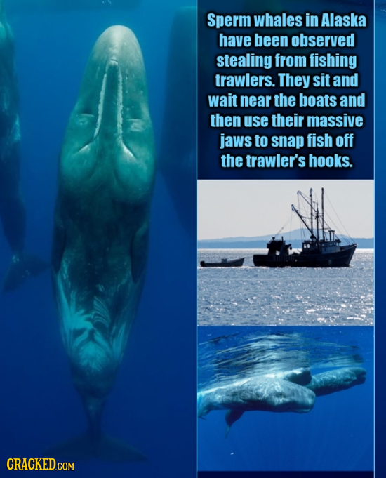 Sperm whales in Alaska have been observed stealing from fishing trawlers. They sit and wait near the boats and then use their massive jaws to snap fis
