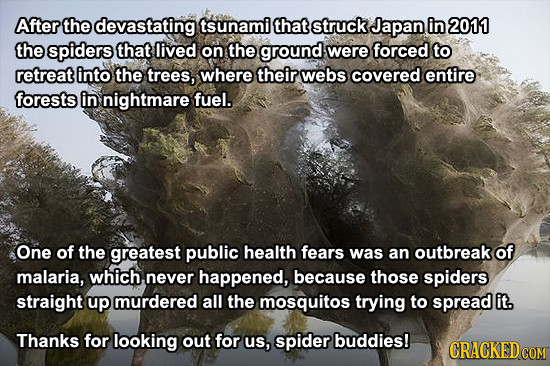 After the devastating tsunami that struck Japan in 2011 the spiders that lived on the ground were forced to retreat into the trees, where their webs c