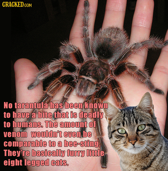 CRACKEDGON No tarantula has been known to have a bite that is deadly to humans. The amount Of venom wouldn't even be comparable to a bee-sting. They'r