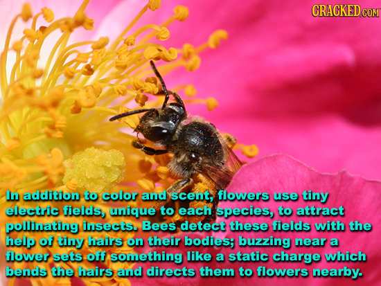 CRACKED CON In addition to color and scent, flowers use tiny electric fields, unique to each species, to attractt pollinating insects. Bees detect the