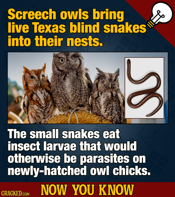 Screech owls bring live Texas blind snakes into their nests. The small snakes eat insect larvae that would otherwise be parasites on newly-hatched owl