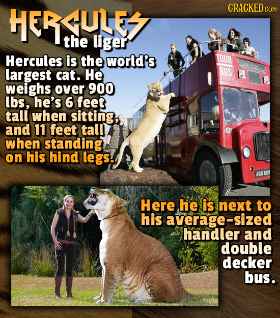 ULE CRACKEDCO COM the liger Hercules is the world's TOUR UCEPLIGERT largest cat. He BUS weighs over 900 lbs, he's 6 feet tall when sitting, and 11 fee