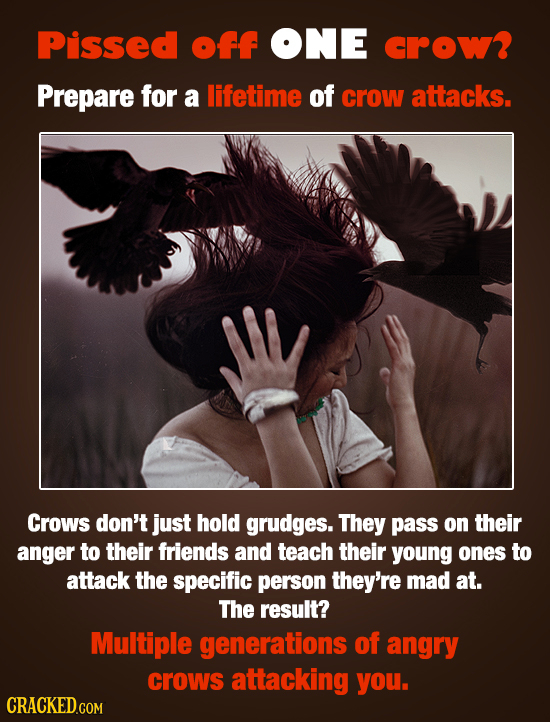 Pissed off ONE crow? Prepare for a lifetime of crow attacks. Crows don't just hold grudges. They pass on their anger to their friends and teach their