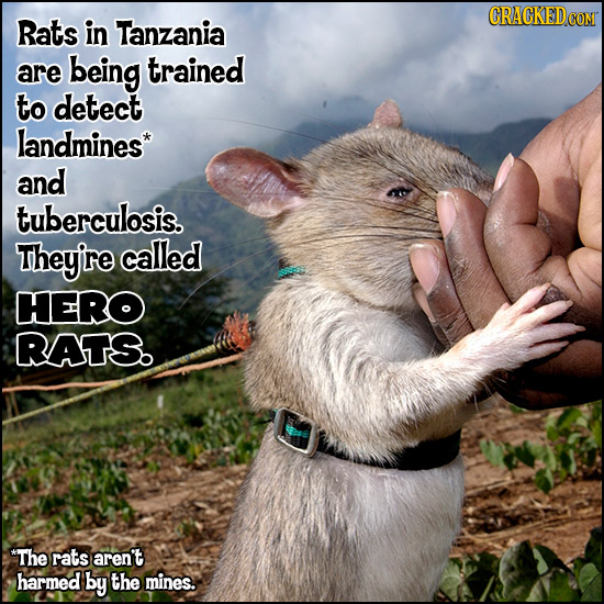 Rats in Tanzania are being trained to detect landmines* and tuberculosis. They're called HERO RATS. *The rats aren't harmed by the mines.