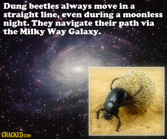 Dung beetles always move in a straight line, even during a moonless night: They navigate their path via the Milky Way Galaxy: CRACKED.COM
