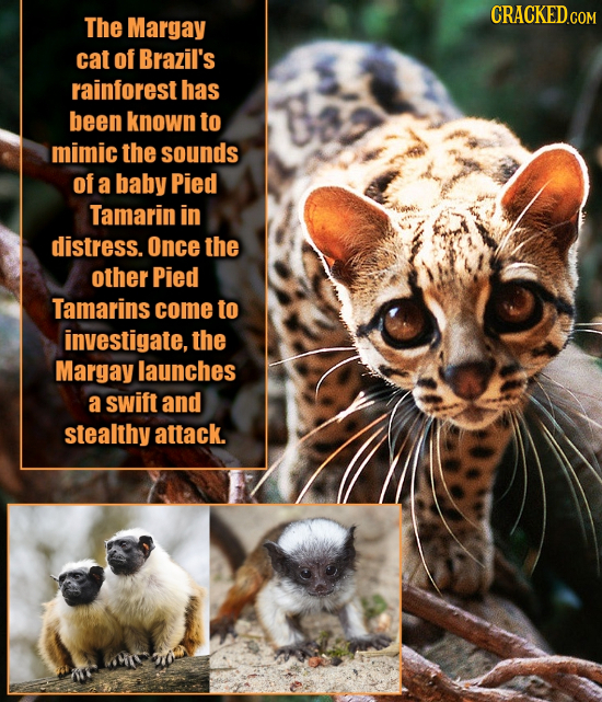 CRACKED.COM The Margay cat of Brazil's rainforest has been known to mimic the sounds of a baby Pied Tamarin in distress. Once the other Pied Tamarins