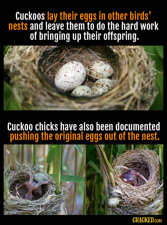 Cuckoos lay their eggs in other birds' nests and leave them to do the hard work of bringing up their offspring. Cuckoo chicks have also been documente