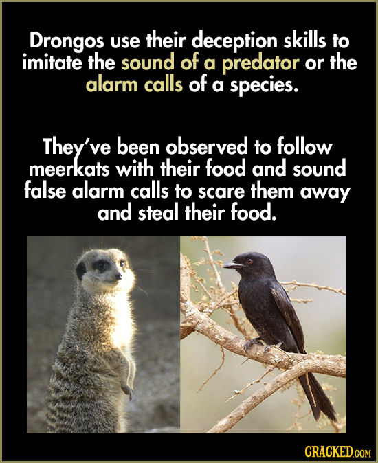 Drongos their use deception skills to imitate the sound of a predator or the alarm calls of a species. They've been observed to follow meerkats with t