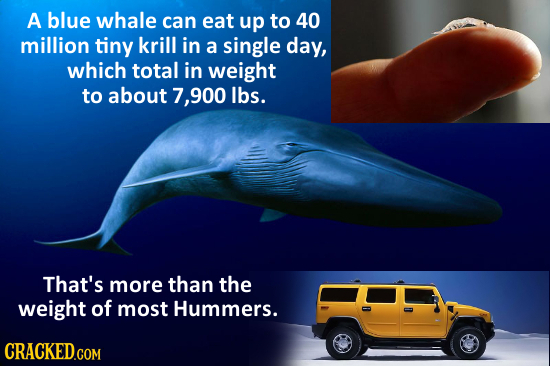 A blue whale can eat up to 40 million tiny krill in a single day, which total in weight to about 7,900 lbs. That's more than the weight of most Hummer